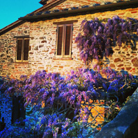 wisteria panicale umbria italy springtime