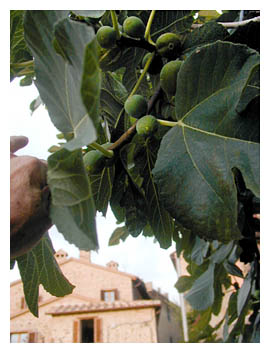 Our Umbrian fig tree in full fruit